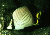 Chaetodon decussatus, Indian vagabond butterflyfish: aquarium