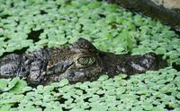 Image of: Caiman crocodilus (spectacled caiman)