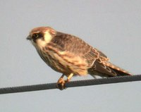 Red-footed Falcon - Falco vespertinus