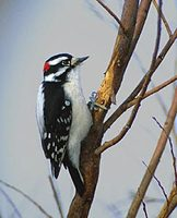 Downy Woodpecker (Picoides pubescens) photo