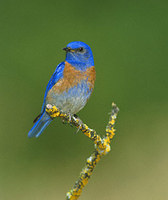Western Bluebird (Sialia mexicana) photo