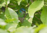 Blue Dacnis (Dacnis cayana) photo