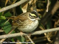 Yellow-browed Bunting - Emberiza chrysophrys