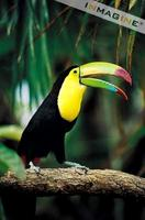 Keel-billed Toucan (Ramphastos sulfuratus) photo