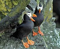 ...s from Alaska (where these Tufted Puffins were photographed) right down to Texas and Arizona (Pe
