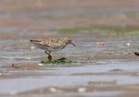 Sharp-tailed sandpiper C20D 02299.jpg