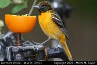 Baltimore Oriole (1st yr male) - Ohio