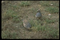 : Callipepla squamata; Scaled Quail
