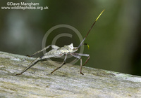 : Acanthocephala declivis; Leaf-footed Bug