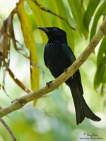 Spangled Drongo Scientific name - Dicrurus hottentottus