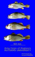 Bairdiella chrysoura, Silver perch: fisheries, bait
