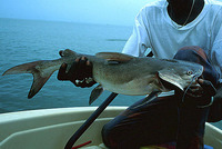 Arius latiscutatus, Rough-head sea catfish: fisheries