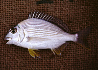 Rhabdosargus sarba, Goldlined seabream: fisheries, aquaculture, gamefish