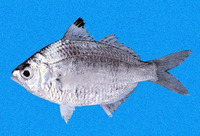 Diapterus aureolus, Golden mojarra: fisheries
