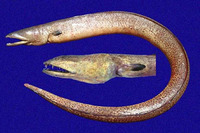 Echiophis brunneus, Pacific spoon-nose eel: fisheries