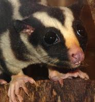 Image of: Dactylopsila trivirgata (striped possum)