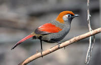 Image of: Garrulax milnei (red-tailed laughingthrush)