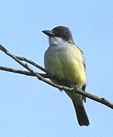 Thick-billed Kingbird (Tyrannus crassirostris) photo