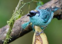 Golden-naped Tanager (Tangara ruficervix) photo