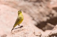 Greenish Yellow-Finch - Sicalis olivascens