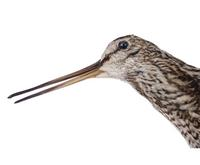 꺅도요 Common Snipe | Gallinago gallinago