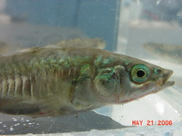 : Gasterosteus aculeatus; Northern Threespine Stickleback