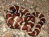: Lampropeltis getula; Common Kingsnake