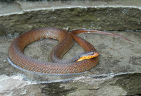 : Nerodia erythrogaster erythrogaster; Red-bellied Water Snake