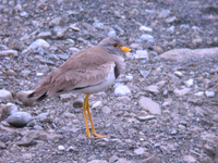 민댕기물떼새 Microsarcops cinereus | gray-headed lapwing