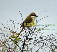 홍때까치 Brown Shrike
