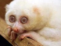 photograph of an albino slow loris