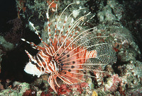 Pterois antennata, Broadbarred firefish: fisheries, aquarium