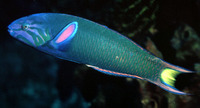 Thalassoma lunare, Moon wrasse: fisheries, aquarium