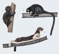 Image of: Callitrichinae (marmosets and tamarins)