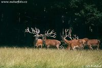 Cervus elaphus - Red Deer
