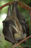 Eidolon helvum - Straw-colored Fruit Bat