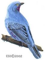 Image of: Cotinga maynana (plum-throated cotinga)