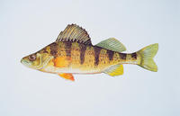 Image of: Perca flavescens (yellow perch)