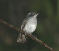 Little Slaty Flycatcher - Ficedula basilanica