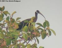 White-shouldered Ibis - Pseudibis davisoni