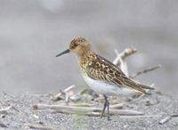 Little Stint (Calidris minuta) photo