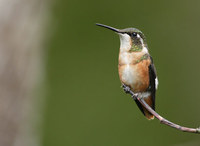 White-bellied Woodstar (Acestrura mulsant) photo