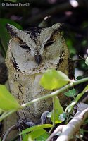 Indian Scops-Owl - Otus bakkamoena