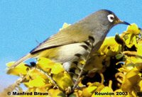 Reunion White-eye - Zosterops olivaceus