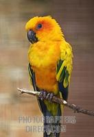 Sun Conure stock photo