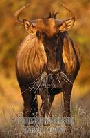 Blue Wildebeest , Connochaetes taurinus , Kruger National park , South Africa stock photo