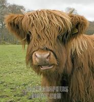 Highland Cow , Loch Lomond and Trossachs National Park , Scotland stock photo