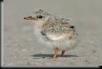 Least Tern Chick, Jones Beach, NY