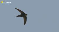 Fig.4. White-rumped Swift : 칼새