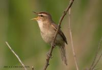 Black-Browed Reed Wabler Acrocephalus bistrigiceps 쇠개개비